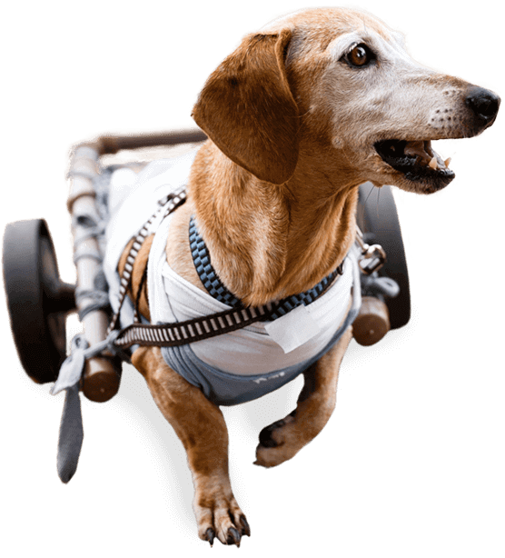 image of a happy dog using a dog wheelchair